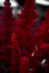astilbe (gaypunk) Tags: plant flower garden fuzzy chinese astilbe