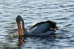 Pelican (Merrillie) Tags: sea nature water animals fauna bay nikon scenery waterfront wildlife australia pelican views nsw brisbanewater woywoy d5500 nswcentralcoast centralcoastnsw