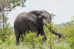 Suedafrika-8 (Lukas P Schmidt) Tags: elephant nationalpark krugerpark