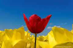 Confident Red (Johan Konz) Tags: yellow tulipfields outdoor oneredtulip tulip blue sky flower spring field red tulipseason springtime urk netherlands flevoland