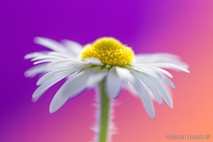 Daisy (Victoria Helson photography) Tags: flower colors canon spring bokeh daisy