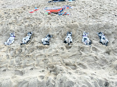 Six Huskies Laying on a Beach (gazrad) Tags: dog pet cute beach horizontal outdoors sand funny sleep melbourne groundlevel six stkilda sunbathe huskie trained southernblackbream