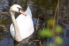 Runny nose... (marionrosengarten) Tags: nature water animal tiere swan pond nikon wasser curious teich schwan vogel wary