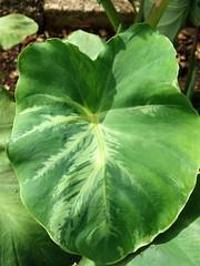 Taro (Colocasia esculenta): Dasheen mosaic (Scot Nelson) Tags: virus taro colocasiaesculenta feathering dasheenmosaicvirus dasheenmosaic