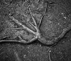Roots (KevinCollins00) Tags: blackandwhite bw ontario canada film mediumformat pond fuji pentax beaver 120film trail neopan 6x7 analogphotography algonquinpark acros100 filmphotography pentax6x7 provincialparks ontarioparks nipissingunorganizedsouthpart nipissingunorganizedsouthpa