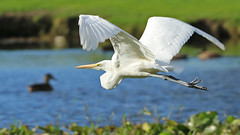 IMG_8801 (Stonez06) Tags: white heron napier andersonpark kotuku
