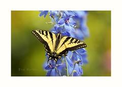 Papilio (Krasne oci) Tags: flower detail nature closeup butterfly insect bokeh gardening photographicart delphinium swallowtail papilio artphoto motyl beautifulbutterfly beautifulphoto evabartos