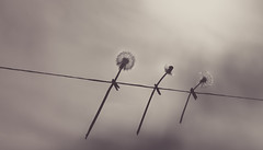 wishes on a wire - 145/366 (auntneecey) Tags: dandelion day145366 366the2016edition 3662016 24may16
