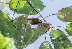 RSS_0487 (RS.Sena) Tags: brazil bird nature forest nikon natureza pssaro atlantic ave birdwatching mata atlntica d7000 sopaulobr