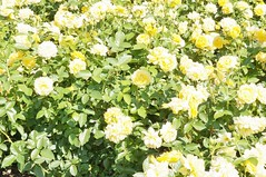 11879131_10153099678062076_4803451323745863343_o (jmac33208) Tags: park new york roses rose garden central schenectady