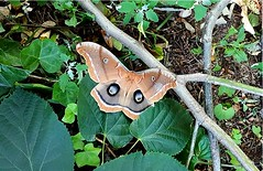 Backyard (2) (pensivelaw1) Tags: butterfly newyorkstate baldwin nassaucounty