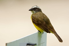 DSC_3119_DxO (rubengaasenbeek) Tags: socialflycatcher myiozetetessimilis bird brazil jardimbotânicodoriodejaneiro