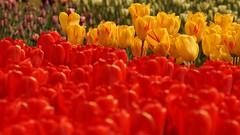 *** (pszcz9) Tags: flower nature closeup spring sony poland polska tulip botanicgarden a77 wiosna przyroda kwiat tulipan beautifulearth ogrdbotaniczny zblienie