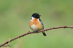 Stonechat (parry101) Tags: bird birds wales forest farm south cardiff whitchurch stonechat