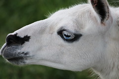 Wise Guy (excellentzebu1050) Tags: animal closeup outdoor farm llama lama animalportraits coth5 lama2016zebujune
