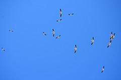 Pelican circle flight (U.S. Fish and Wildlife Service - Midwest Region) Tags: american pelican bird flying summer minnesota sky pelecanus erythrorhynchos prairie