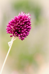 Drumstick Allium (Jez22) Tags: summer copyright flower colour green nature beauty closeup garden outdoors close purple vibrant burgundy drumstick bloom environment botany ornamental allium perennial blooming eggshaped sphaerocephalon jeremysage alliumsphaerocephalonkugellauch