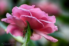 pink rose (alias Tomnorton) Tags: pink roses rose rosa heartawards platinumheartaward