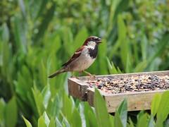 Flat Sparrow (Wildlife Terry) Tags: wood house flat cheshire pigeons sparrow perch roost wheelock sandbach wildlifenatureamateurphotography