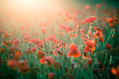 Poppy Field 02/07/2016 (Matthew Dartford) Tags: flower field leaf petals bokeh norfolk petal poppy flowering popies bokehlicious
