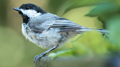 Sitting in the Flower Box (blazer8696) Tags: 2016 blackcappedchickadee brookfield ct connecticut ecw obtusehill paridae passeriformes poecile poecileatricapillus t2016 usa unitedstates atricapillus black blackcapped capped chickadee img9207