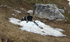 j'aime la neige! (bulbocode909) Tags: nature neige rochers chiens montagnes nvs