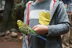 budgie on a stick (embem30) Tags: evan birds budgerigar budgie parakeet woodlandparkzoo willawongstation