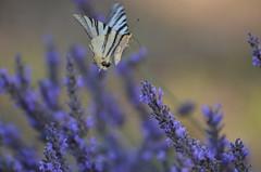 Docking [Explored] (dfromonteil) Tags: butterfly papillon lavande lavender bokeh vol fly flower fleur explored explore wow