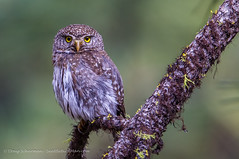 Northern Pygmy Owl (seattlebirdman) Tags: liberty northernpygmyowl