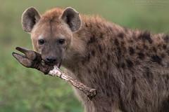 Young Hyena (arfromqatar) Tags: canon600mmf4 africa safari canon1dx hyena arfromqatar aralkhulaifi qatar qatar2022fifaworldcup qatar2022