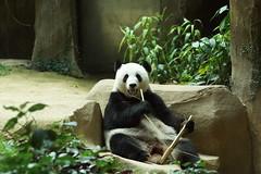 Feng Yi (/) aka Liang Liang 2016-06-17 (kuromimi64) Tags: zoonegara malaysia   zoo nationalzoo zoonegaramalaysia kualalumpur  bear   panda giantpanda     fengyi  liangliang fuwa  xingxing