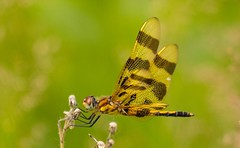 7K8A2140 (rpealit) Tags: scenery wildlife nature camp olympia stokes state forest halloween pennant dragonfly