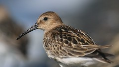 Dunlin (Matt Scott Wildlife Photography) Tags: oxfordshire farmoor canon7dmark2 waders wader bird birds aves shorebirds water dunlin