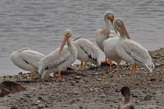 American White Pelicans, resting, Bolsa Chica CA CQ4A7792 (Hart Walter) Tags: bolsachica blackskimmer reddishegret americanwhitepelican longbilledcurlew wetlands snowyegret canadagoose