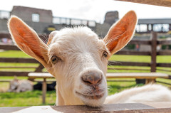 Hi! (icanhascamera) Tags: pentax k50 out outdoor outside outdoors smeg goat animal