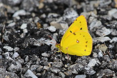 Orange Sulphur (astro/nature guy) Tags: illinoisinsect insect champaigninsect kaufmanlakeinsect kaufmanlake butterfly sulphur orangesulphur