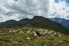 Balade au mont Ceint (Arige) (PierreG_09) Tags: troupeau estive transhumance mouton brebis montceint picdegirants arige pyrnes pirineos