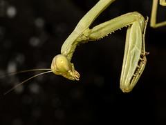 Praying Mantis (ElizabethCaffey) Tags: insect praying mantis macro