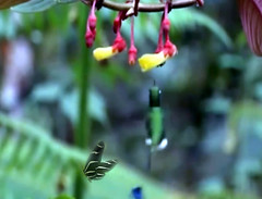 Humminbird spots a flower (Clouvux) Tags: hummingbirds bird bokeh blur butterfly animal wildlife nature forest flower flight blue hummingbird