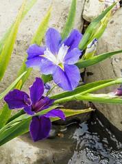 Blue Iris... (Anni - with camera) Tags: iris louisianairis blue yellow pink