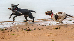 Fun at the beach (Matthias-Hillen) Tags: scotland schottland united kingdom uk grosbritanien black isle moray firth matthias hillen matthiashillen wasser water kste coast coastline beach strand cromarty dogs run fun hunde rennen spielen playing play stckchen holen