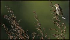 yellow-rumped warbler (Christian Hunold) Tags: yellowrumpedwarbler woodwarbler warbler songbird bird kronwaldsnger bokeh johnheinznwr philadelphia christianhunold