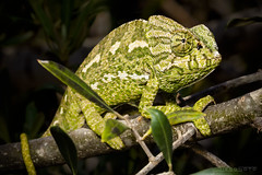 IMG_8456 Camalen (digsoto - Diego Soto) Tags: chameleon camalen reptil reptile
