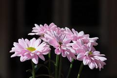 Daisies glowing in the dark (Behappyaveiro) Tags: daisies margaridas flores flowers sun dark aveiro portugal europa