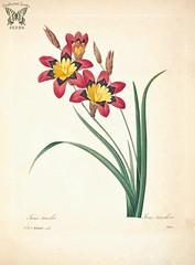 Anglų lietuvių žodynas. Žodis sparaxis tricolor reiškia sparaxis trispalvė lietuviškai.