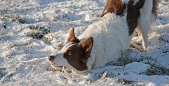 Snow in the Shire (A child in the night) Tags: winter red dog snow cheshire brother sheepdog luke bordercollie shire thefellowshipofthering