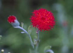 Nairobi, Kenya (Ninara) Tags: africa flower garden kenya kleinia