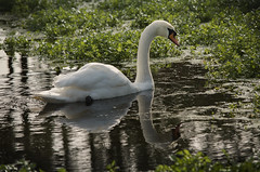 Swanning around (Neil W2011) Tags: autumn reflection swan nikon d7000