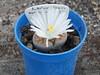 DSCF0404 (BobTravels) Tags: plant stone bob lithops lithop messem bobwitney
