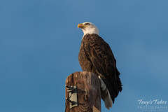 The watchful eye of an eagle